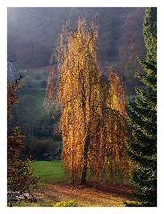Herbstliche Birke in Gimborn