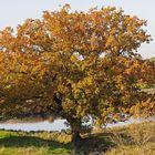 Herbstliche Eiche in der Lippe-Auenlandschaft bei Werne-Stockum