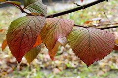 Herbstliche Färbung der Bergulmenblätter ...
