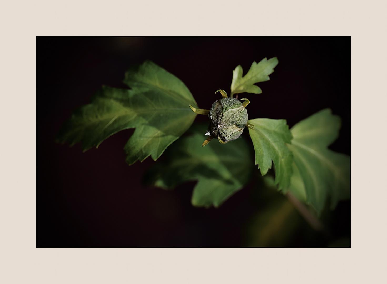 herbstliche Knospe des Hibiskus