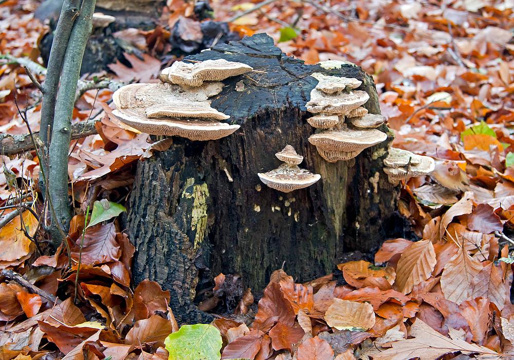 Herbstliche Pilzfamilie IV