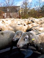 Herbstliche Schafwanderung