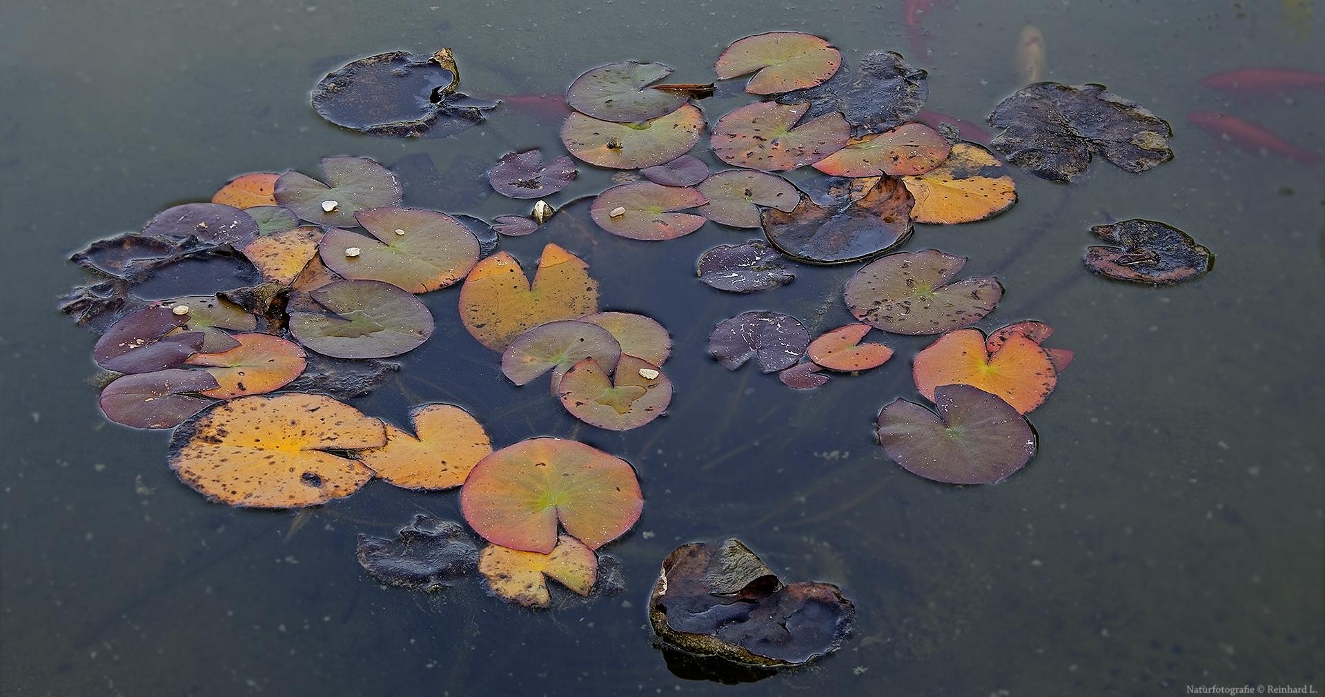 Herbstliche Seerosen
