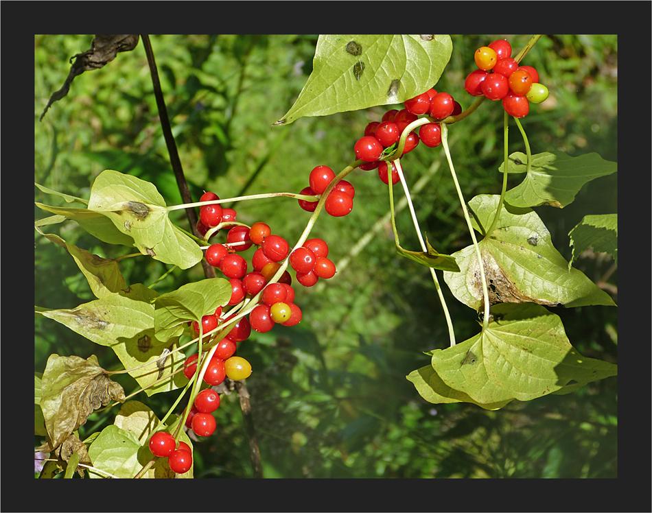 Herbstliche Solanumranke