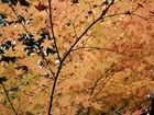 Herbstlicher Ahorn (?) bei Kyoto, Japan