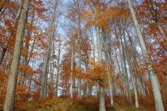Herbstlicher Buchenwald I