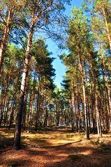 Herbstlicher Kiefernwald