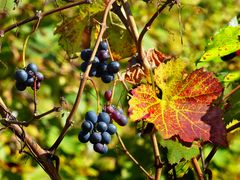 Herbstlicher Rebberg