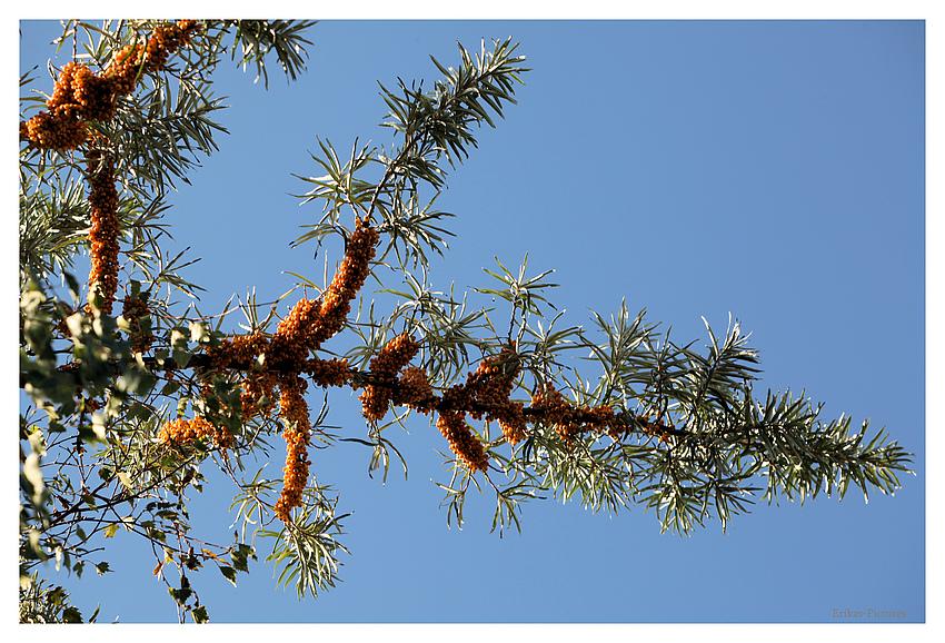 Herbstlicher  Sandorn