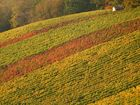 Herbstlicher Weinberg
