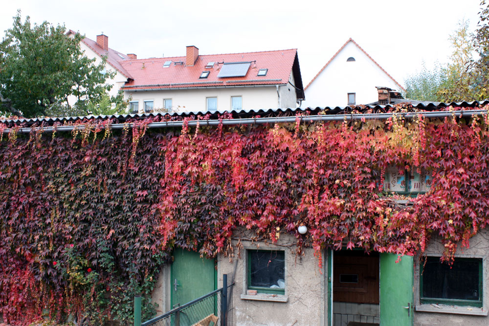 herbstlicher wilder Wein schmückt dieses Gebäude
