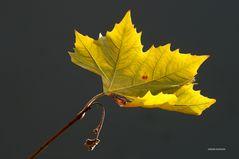 Herbstliches Ahornblatt oder doch ein Platanenblatt ?