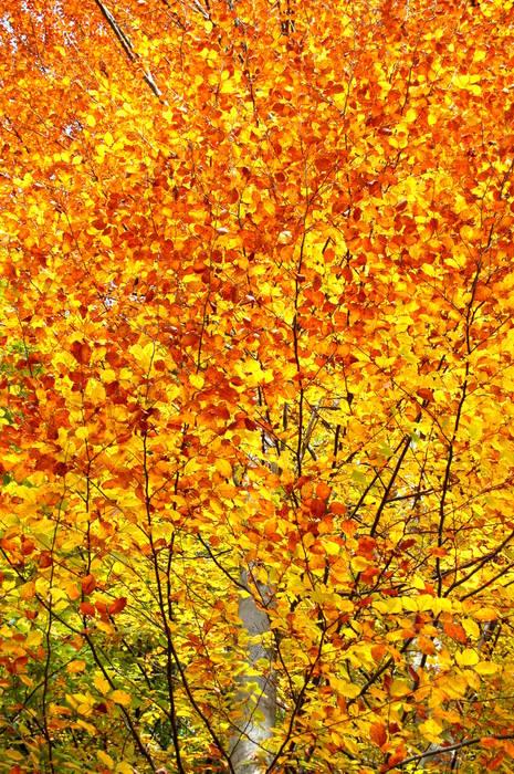Herbstliches Buchenlaub