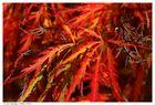 Herbstliches Rot I
