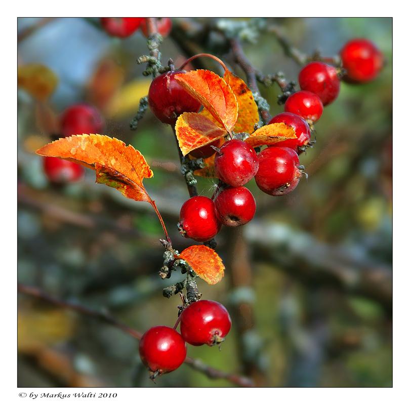 Herbstliches Rot II