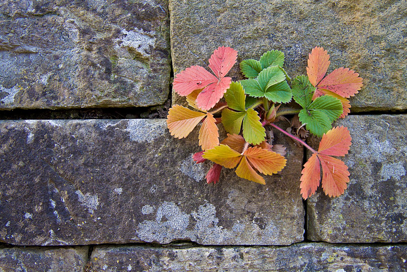 Herbstmauerbeerchen