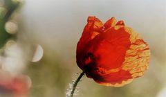 Herbstmohnblüte