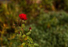 Herbstrose (1)