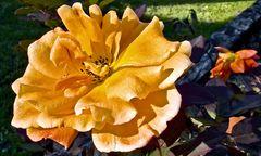 Herbstrose in Orange