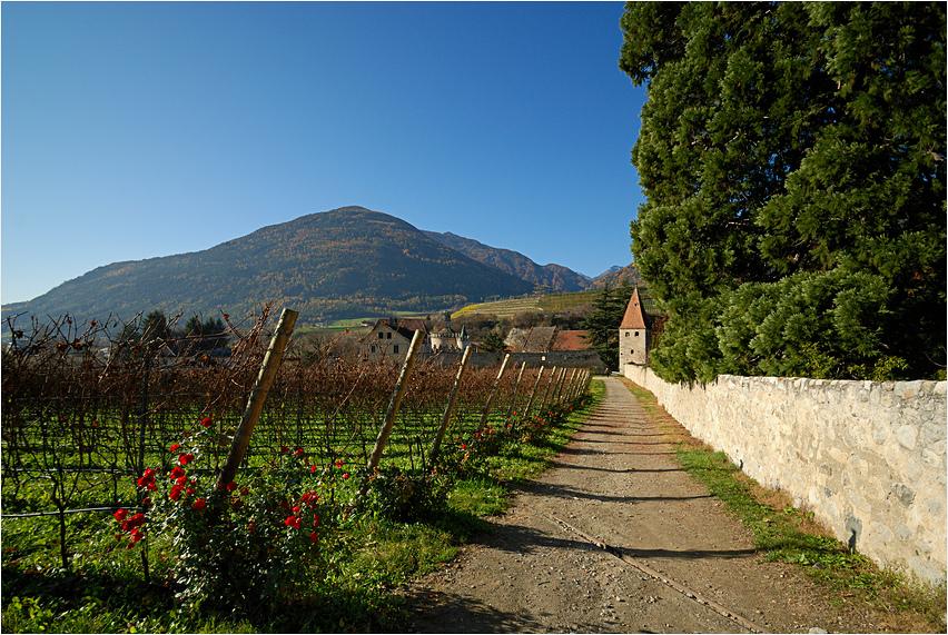 Herbstrosen im Weinberg