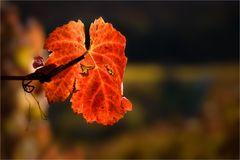 Herbstrot im Weinberg