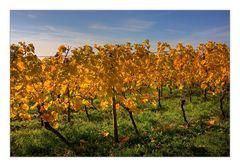Herbstsachen [6] Weinblätter