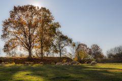 Herbst:Schafe