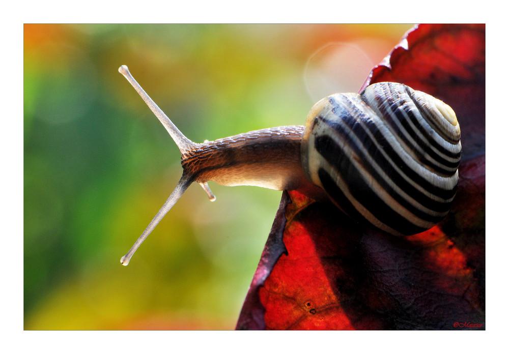 Herbstschnecke