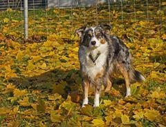' Herbstschönheit'