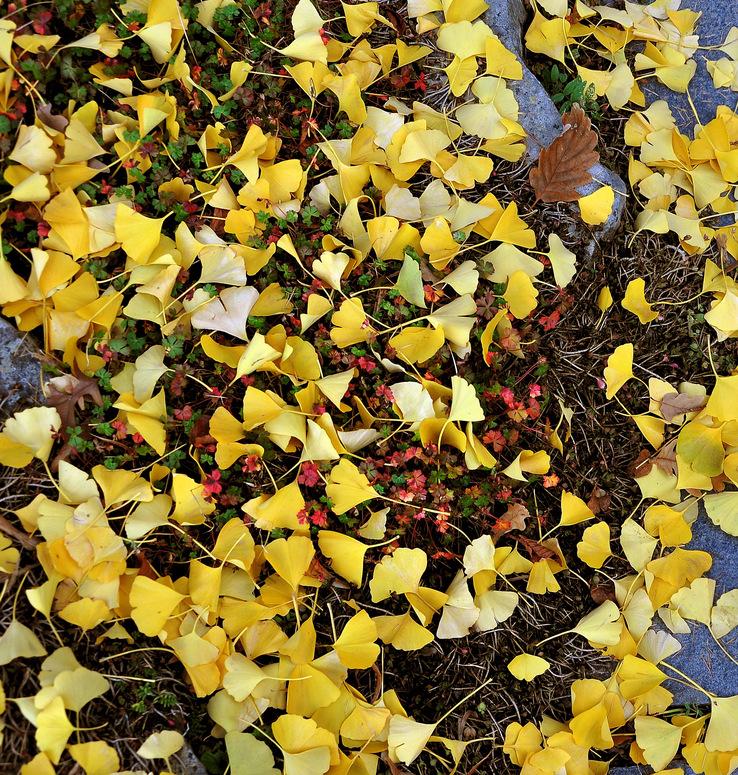 Herbstspaziergang.................... unterm Gingobaum