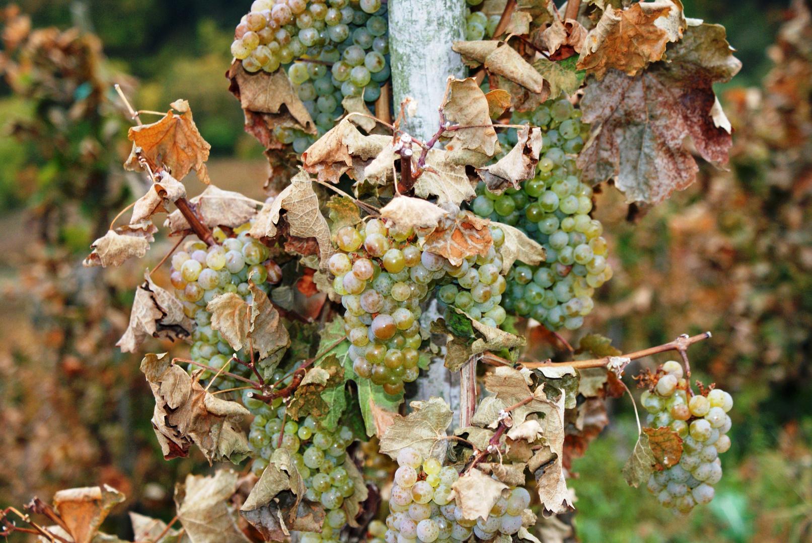 Herbsttrauben
