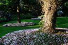 Herbstveilchen im Arboretum Ellerhoop II