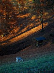 Herbstwald mit Reh (2)
