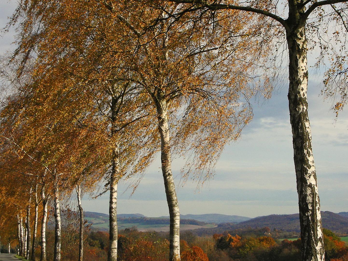 Herbstwind mit Birkengold