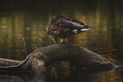 Herbstzeit bei den Enten