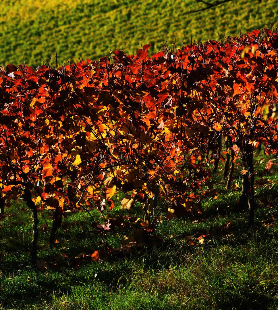 Herbstzeit im Weinberg