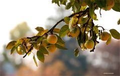 Herbstzeit -Süßmostzeit