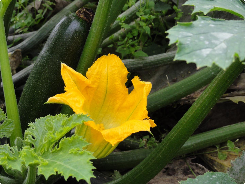 Herbstzeit-Zucchinizeit