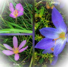 Herbstzeitlose und Frühlingskrokusse