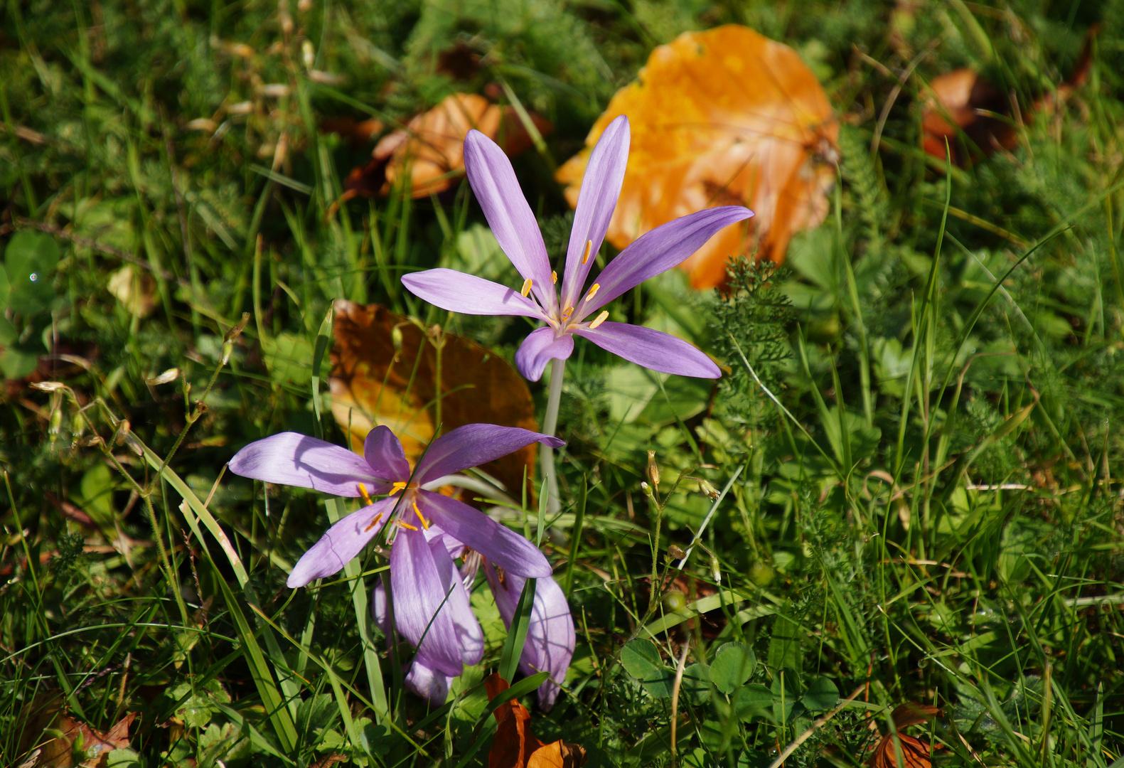 Herbstzeitlosen Foto Bild Lila Natur Herbst Bilder Auf
