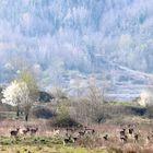 herd of fallow deer grazing