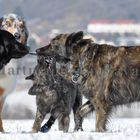 Herder Langhaar in Action