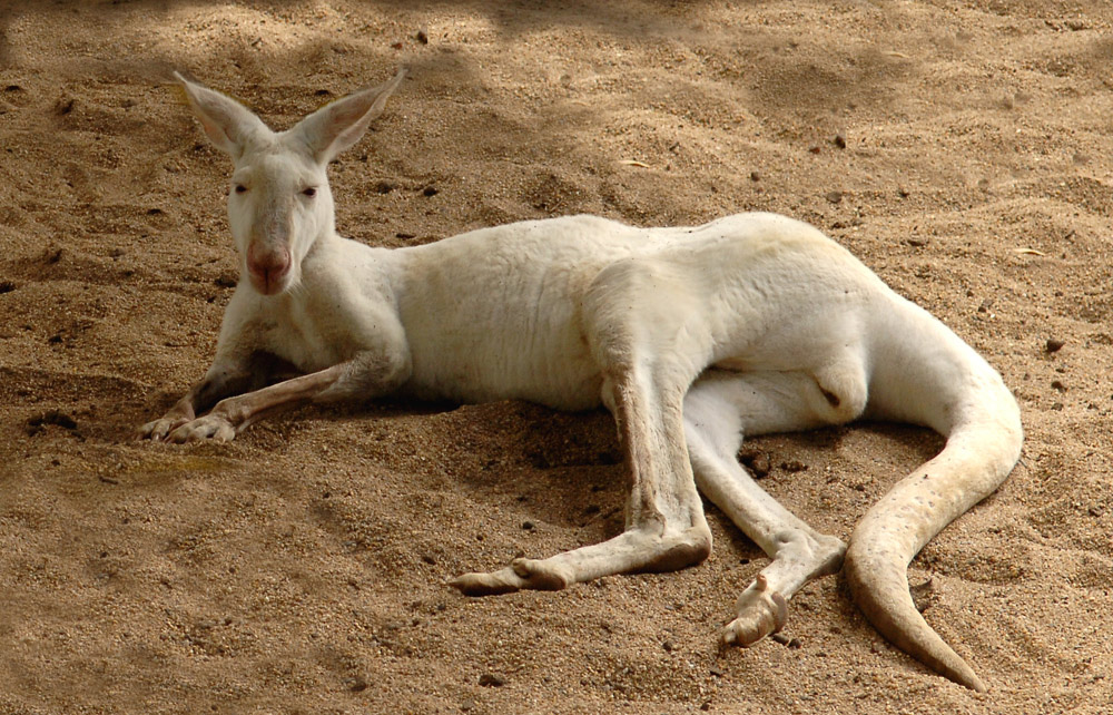 Here is an Albino Kangaroo for those who may not have seen one.