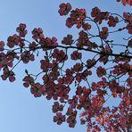 Hermannshof: Östlicher Blumen-Hartriegel