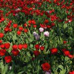 Hermannshof: Viel Rot und wenig Rosa