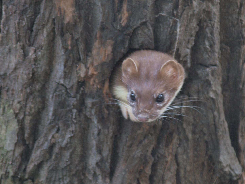 Hermelin oder großes Mauswiesel