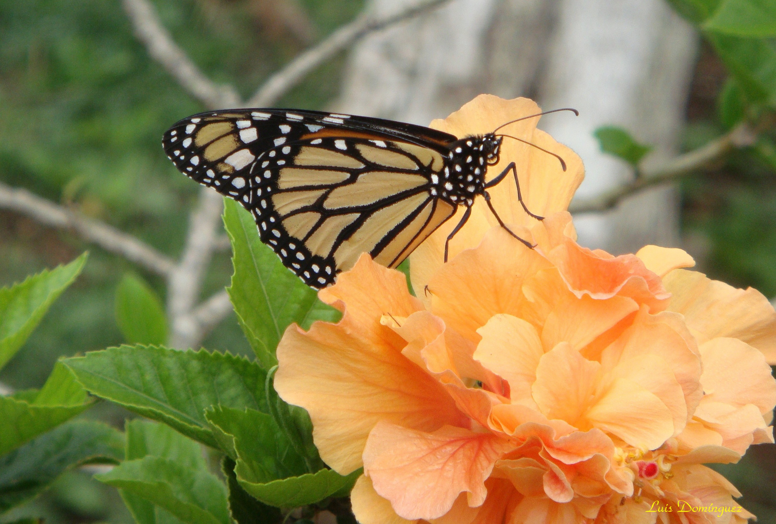 Hermosa Monarca e Hibiscus