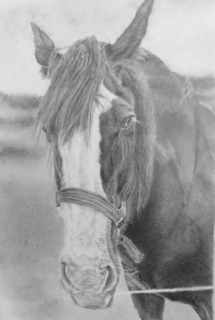 Hero ( pencil drawing of Hero) a Shire Horse