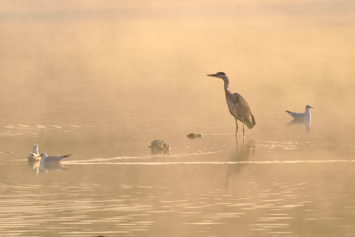 Heron brumeux