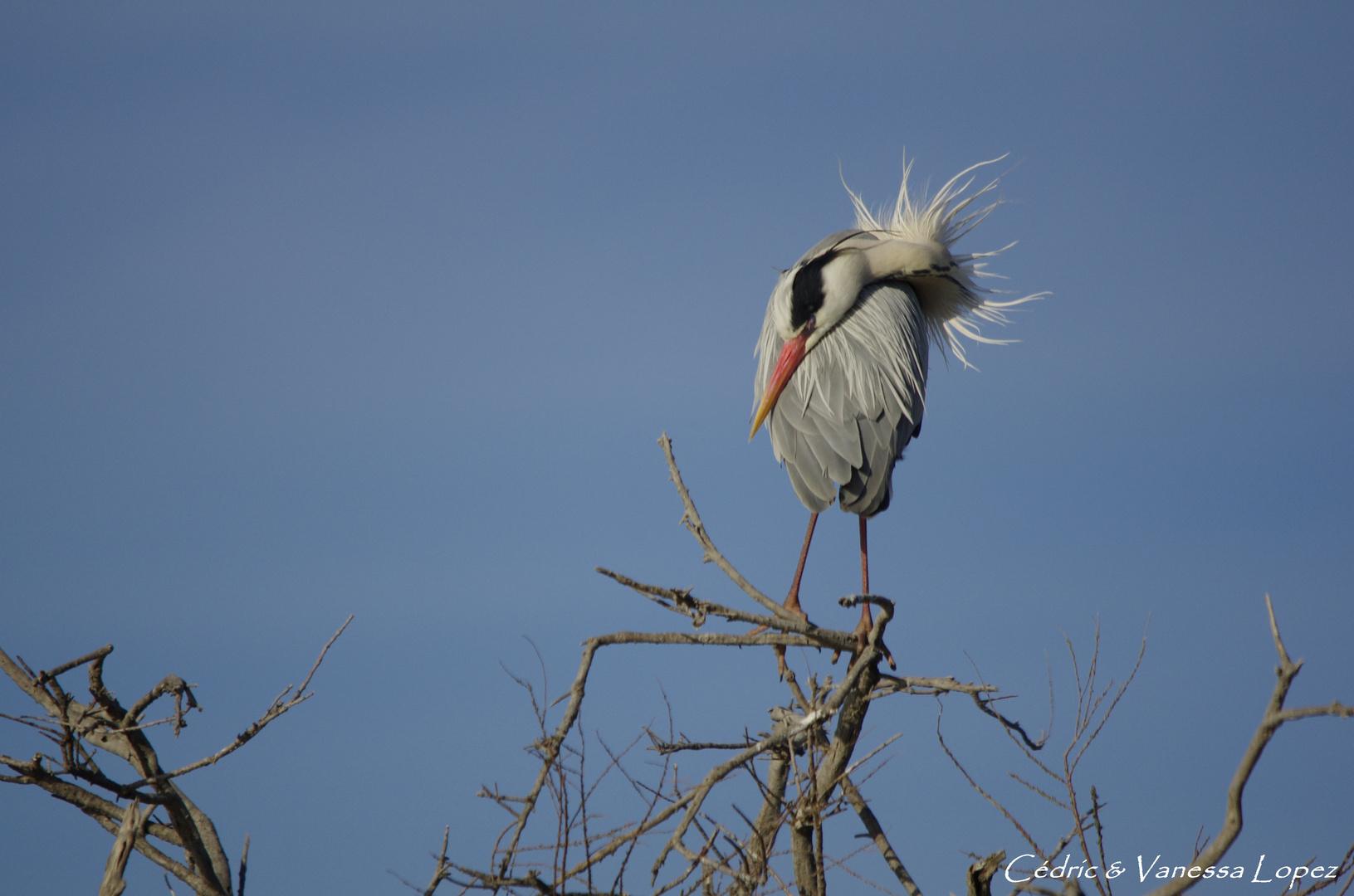 Héron cendré plumes au vent